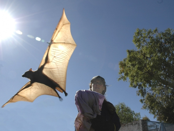 Study shows bat deaths worldwide rising due to human causes