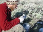Dan Bachen measures a rodent - 2012