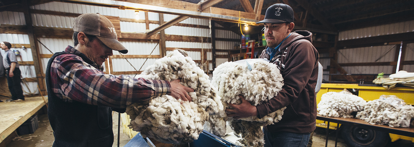 Two men load armfuls of wool into a blue processing machine to be combed into roving.