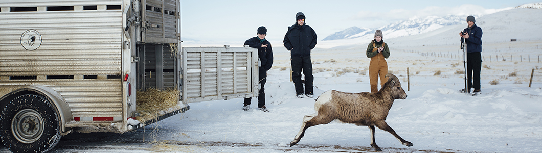 A group of scientists in winter gear oversee the release of a bighorn sheep back into its habitat.