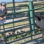 A student in the MSU College of Agriculture's Steer-A-Year program gathers data on donated steers. The program is again seeking steer donations to give students hands-on experience in all aspects of the beef industry. MSU photo by Adrian Sanchez-Gonzalez