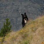 A curious bear watches Cathy Cripps collect mushrooms and dig for fungi. (Photo by Cathy Cripps).