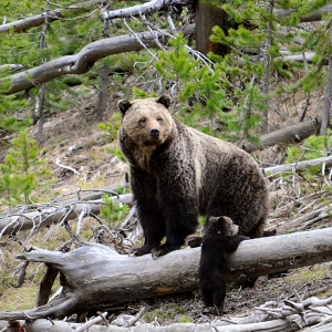 Yellowstone Grizzly Bears - 45 Years of Scientific Discovery