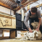 A shearer removes wool fleece from a Targhee-Rambouillet cross-breed sheep in preparation for Montana State University animal range science students testing the wool on a wool coring machine on Thursday, March 16, 2017, at the MSU Red Bluff Research Ranch, near Norris, Mont. The wool coring machine was designed by the Montana Manufacturing Extension Center for the MSU College of Agriculture's Wool Lab. MSU Photo by Adrian Sanchez-Gonzalez