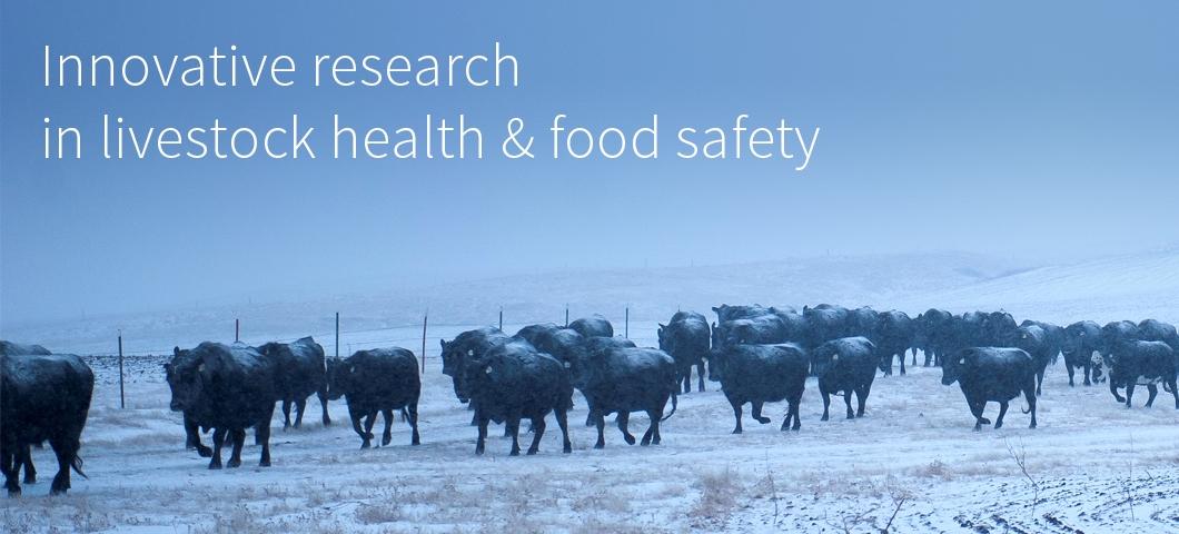 Cattle herd in winter