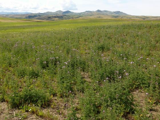 Field bindweed |