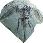 This is a fossil of the long-tailed bird Jeholornis. (Photo by Jizantang).