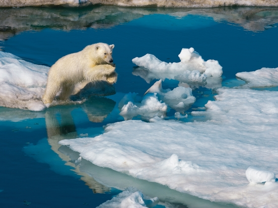 A young polar bear leaps between ice floes. | Paul Nicklen/National Geographic.