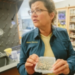 Jamie Sherman, associate professor of plant sciences and plant pathology in the College of Agriculture at Montana State University, examines a sample of hull-less barley on Thursday, June 1, 2017, in Bozeman, Mont. Sherman recently received a $300,000 grant from the U.S. Department of Agriculture National Institute of Food and Agriculture to research barley varieties grown in Montana. MSU Photo by Adrian Sanchez-Gonzalez