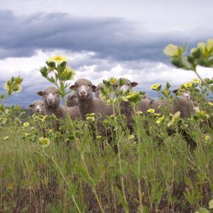 Sheep Behind Sulfur Cinquefoil; Photo Credit: Rachel Frost