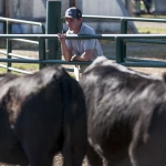 Student in College of Agriculture Steer-A-Year program checks steer