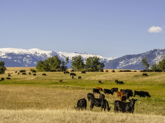 Cattle graze in September in Park County.   MSU photo by Kelly Gorham