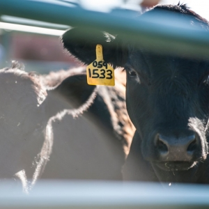 Steer-A-Year Program