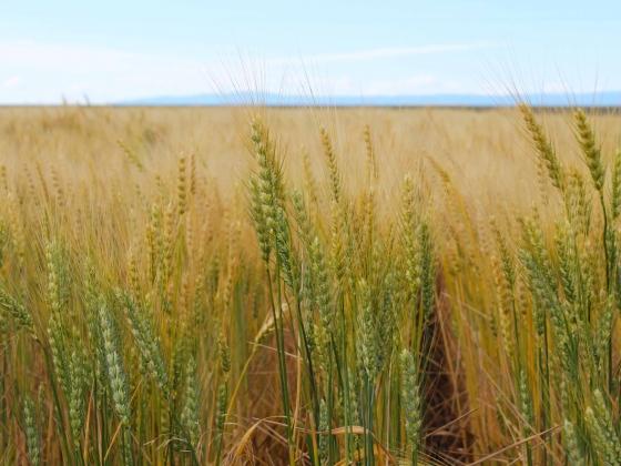 Spring wheat  |