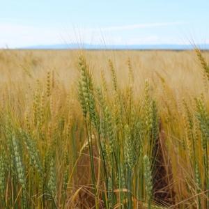 Spring wheat