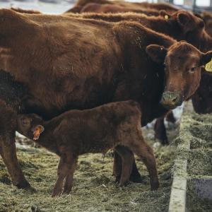 Montana State University Purchases Red Angus Herd