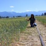 Torrion in wheat field