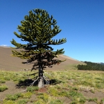 Araucaria araucana forests grow in the central region of Chile, as well as parts of Argentina, Australia and New Zealand, but the tree is listed as endangered. Large fires swept through the forests in 2002. Fires in the first few months of 2015 have burned more than 10,000 acres. (Photo courtesy of Dave McWethy).