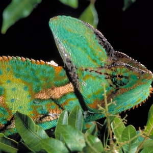 """A veiled chameleon from the """"Reptiles: The Beautiful and the Deadly"""" Exhibition"""