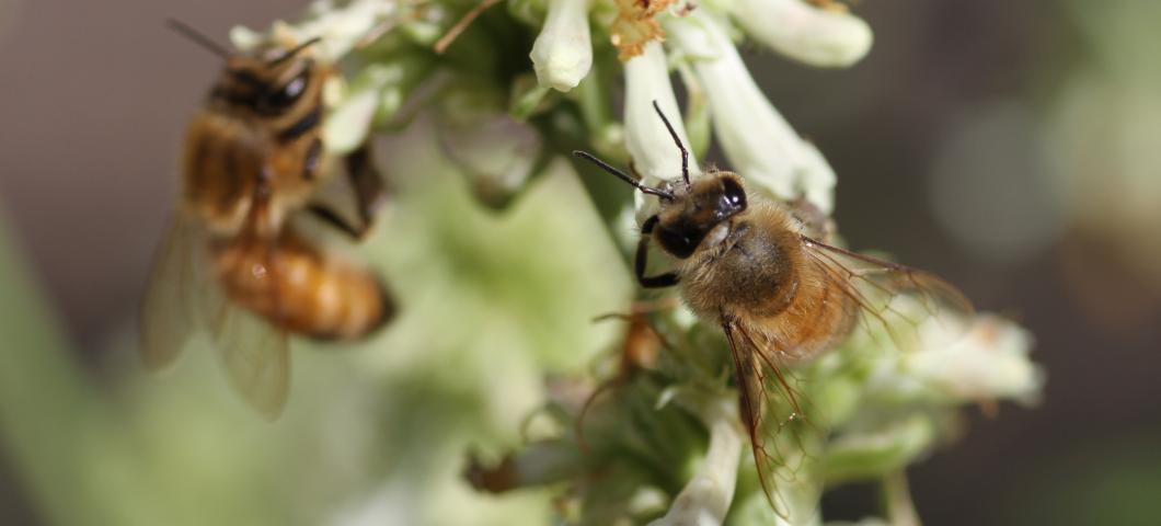 Honey Bees on flower.