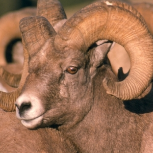 Bighorn Sheep & Mountain Goat Conservation & Ecology in the Northern Rockies with Dr. Robert Garrott