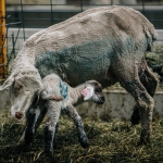 Lambs wander into pens on Wednesday, April 26, 2017, at Montana State University's Red Bluff Research Ranch near Norris, Mont. Lambing season, typically the entire month of April, helps students in animal range science receive first-hand experience in a working ranch. MSU Photo by Adrian Sanchez-Gonzalez