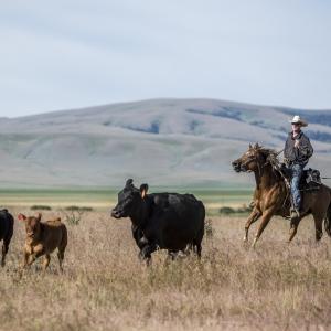Horseman herding cattle