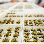 "A group of MSU researchers have published a paper, ""Bumble Bees of Montana,"" in the Annals of the Entomological Society of America. The paper's co-authors were Michael Ivie, associate professor of entomology in the MSU Department of Plant Sciences and Plant Pathology, Kevin O'Neill, professor of entomology in the MSU Department of Land Resources and Environmental Sciences, Casey Delphia, MSU research scientist, and Amelia Dolan, former MSU entomology graduate student, all within the MSU College of Agriculture. MSU photo by Adrian Sanchez-Gonzalez."