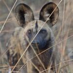 African wild dogs are one of the predators being researched by Montana State University professor Scott Creel and the MSU-affiliated Zambian Carnivore Programme. Evidence suggests this evolutionarily unique species is one of the most social mammals on Earth, with behaviors that make it the mammalian equivalent of honeybees.