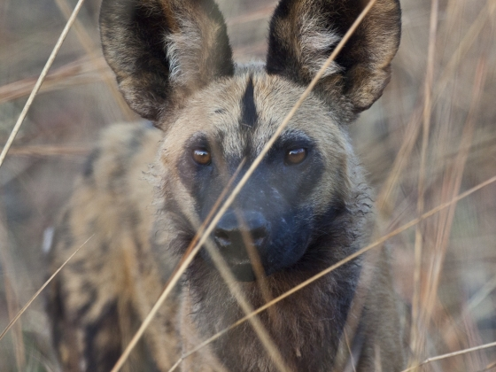 African wild dog in the Zambian bush | Photo courtesy of Scott Creel