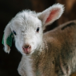 Lambing at Montana State Red Bluff Research Ranch