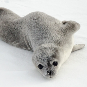 Weddell's Seal
