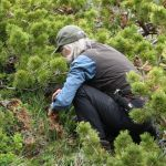 Cathy Cripps collects fungi in Waterton Lakes National Park. (Photo courtesy of Cathy Cripps).