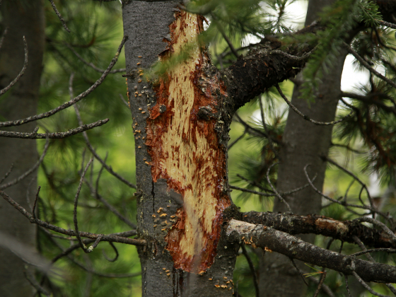 Photo of a tree with blister rust on it. |
