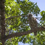 Four great horned owls took up residence at Montana Hall in the heart of the Montana State University campus in 2014. University students and employees said they were fun to watch and also provided evidence of a robust campus ecosystem. MSU photo by Kelly Gorham