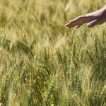 A farmer near Great Falls inspects a mid-summer wheat crop.