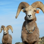 Raina Plowright, assistant professor of epidemiology in MSU's Department of Microbiology and Immunology, has published her four-year study of pneumonia in bighorn sheep. Shown are two bighorn sheep in the Oregon population she studied. Photo by Raina Plowright.