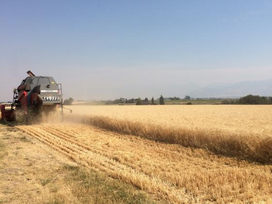 Lanning wheat being harvested at MSU Post Farm
