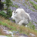 A mountain goat is observed scaling a mountainside in Glacier National Park in September 2016. Photo courtesy of Elizabeth Flesch