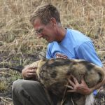 Scott Creel, a Montana State University professor of ecology who studies key African predators, works with a sedated African wild dog in Zambia. Creel is one of three principal investigators on a $1 million National Science Foundation grant that is helping the Zambian Carnivore Programme to study predators and their prey in Zambia's national parks.