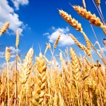 The Montana State University Alumni Foundation has developed a new way for farmers to support Montana State University: through donations of grain.
