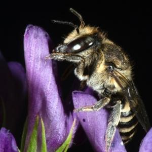Female on alfalfa