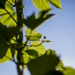 Flowers bloom on a hop vine at Crooked Yard Hops farm in Bozeman, Mont., on Friday, July 15, 2016. MSU photo by Adrian Sanchez-Gonzalez