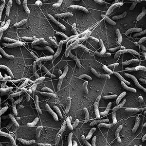 Image of a Desulfovibrio vulgaris biofilm