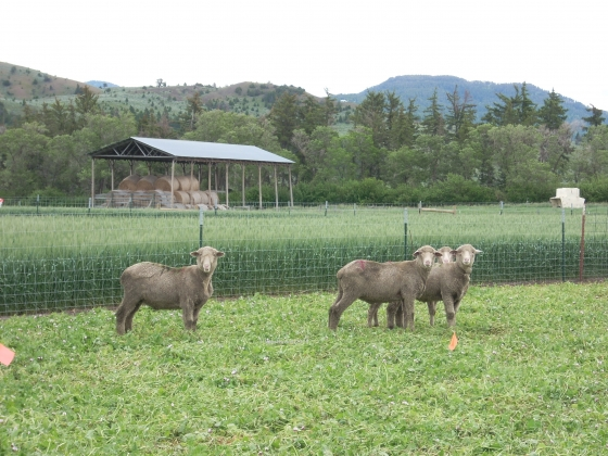 Domestic sheep.