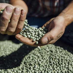 Pea Crop Harvest