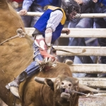 Jesse Holt of Montana State fights to keep his seat in the bull riding during the annual MSU Spring Rodeo Friday, April 8, 2016 in Bozeman, Mont. MSU photo by Kelly Gorham.