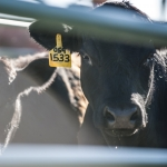 Steer Donations for MSU Steer-A-Year Program