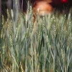 Wheat Breeders Jim Berg and Phil Bruckner
