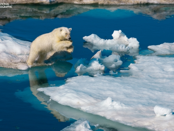 Polar Bear leaping on ice flow